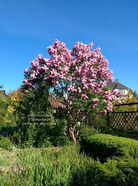 Сирень Маршал Фош (Syringa vulgaris Marchal Foch) ФОТО Питомник растений Природа (Priroda) (19)
