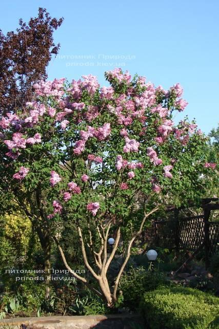 Сирень Маршал Фош (Syringa vulgaris Marchal Foch) ФОТО Питомник растений Природа (Priroda) (8)