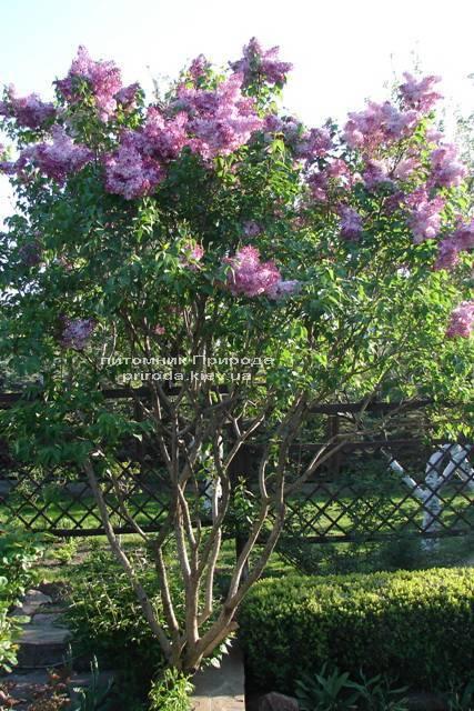 Сирень Маршал Фош (Syringa vulgaris Marchal Foch) ФОТО Питомник растений Природа (Priroda) (9)