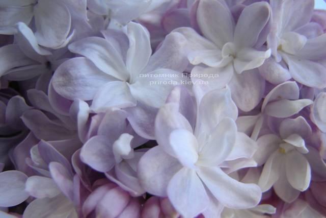 Бузок Мішель Бюхнер (Syringa vulgaris Michel Buchner) ФОТО Розплідник рослин Природа (Priroda) (10)