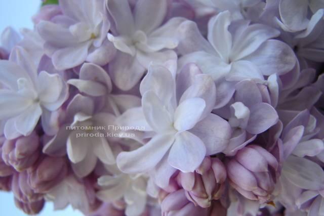 Сирень Мишель Бюхнер (Syringa vulgaris Michel Buchner) ФОТО Питомник растений Природа (Priroda) (12)