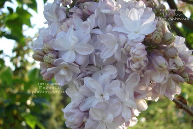 Бузок Мішель Бюхнер (Syringa vulgaris Michel Buchner) ФОТО Розплідник рослин Природа (Priroda) (13)