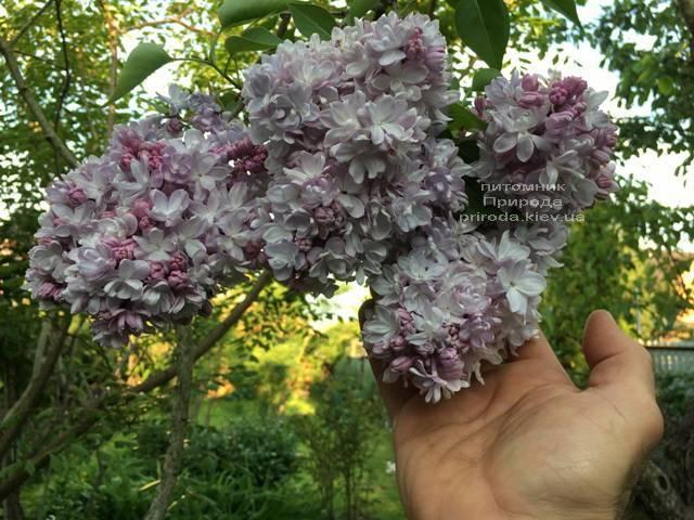 Бузок Мішель Бюхнер (Syringa vulgaris Michel Buchner) ФОТО Розплідник рослин Природа (Priroda) (16)