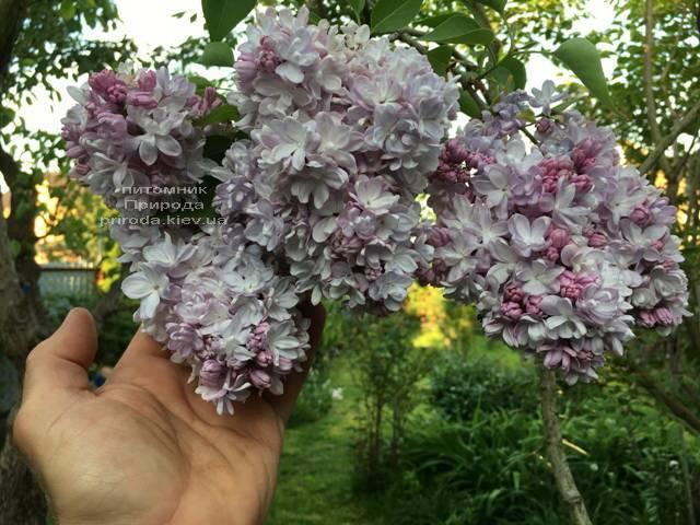 Бузок Мішель Бюхнер (Syringa vulgaris Michel Buchner) ФОТО Розплідник рослин Природа (Priroda) (17)
