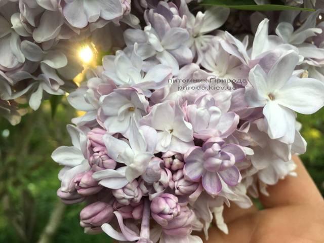 Бузок Мішель Бюхнер (Syringa vulgaris Michel Buchner) ФОТО Розплідник рослин Природа (Priroda) (18)