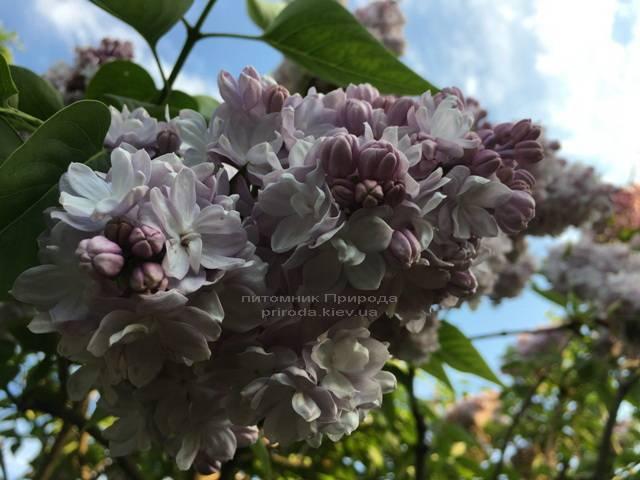 Бузок Мішель Бюхнер (Syringa vulgaris Michel Buchner) ФОТО Розплідник рослин Природа (Priroda) (20)