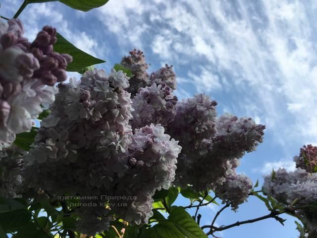 Бузок Мішель Бюхнер (Syringa vulgaris Michel Buchner) ФОТО Розплідник рослин Природа (Priroda) (22)