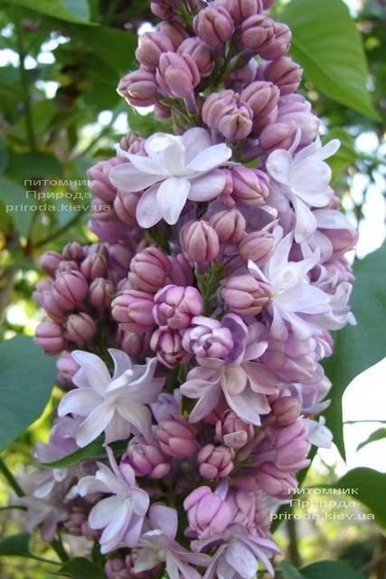Бузок Мішель Бюхнер (Syringa vulgaris Michel Buchner) ФОТО Розплідник рослин Природа (Priroda) (5)