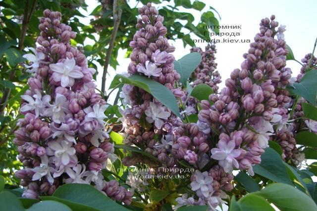 Сирень Мишель Бюхнер (Syringa vulgaris Michel Buchner) ФОТО Питомник растений Природа (Priroda) (7)