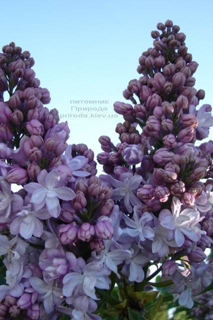 Бузок Мішель Бюхнер (Syringa vulgaris Michel Buchner) ФОТО Розплідник рослин Природа (Priroda) (8)