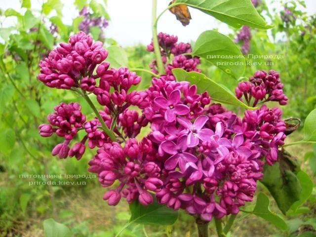 Сирень Мрия (Мечта) (Syringa vulgaris Mrija) ФОТО Питомник растений Природа (Priroda) (1)