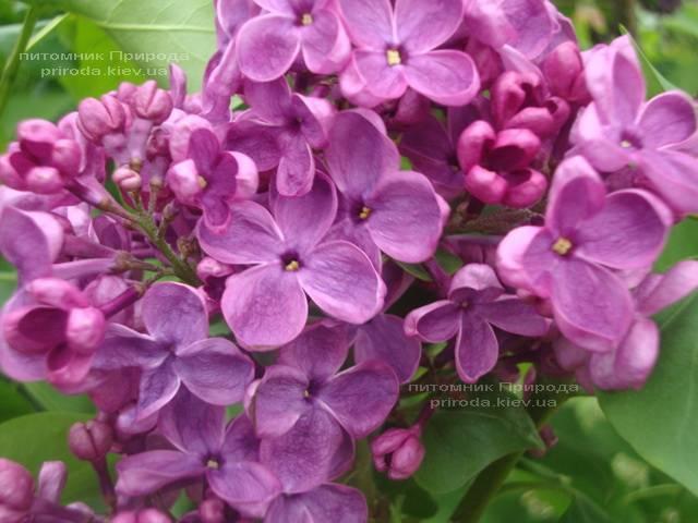 Сирень Мрия (Мечта) (Syringa vulgaris Mrija) ФОТО Питомник растений Природа (Priroda) (2)