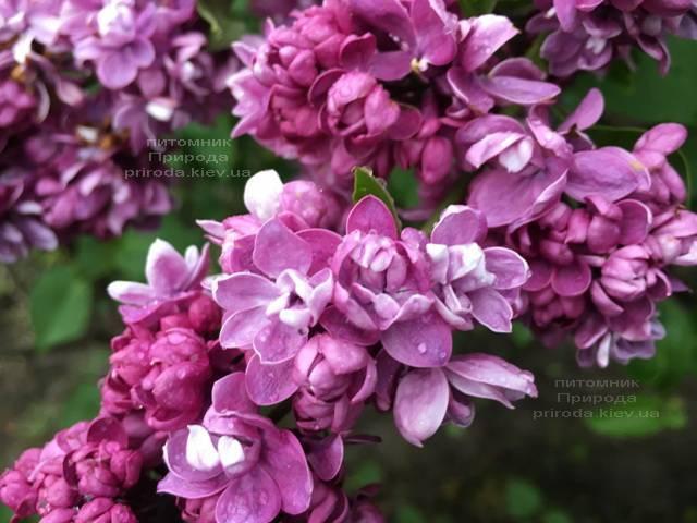 Сирень Огни Донбасса (Syringa vulgaris Ogni Donbassa) ФОТО Питомник растений Природа (Priroda) (13)