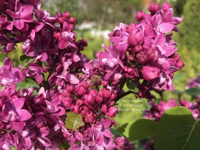 Сирень Огни Донбасса (Syringa vulgaris Ogni Donbassa) ФОТО Питомник растений Природа (Priroda) (5)