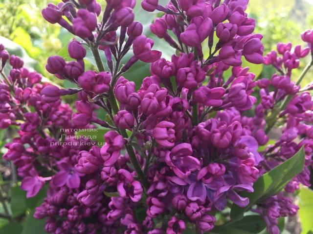 Сирень Полтава (Syringa vulgaris Poltava) ФОТО Питомник растений Природа (Priroda) (2)
