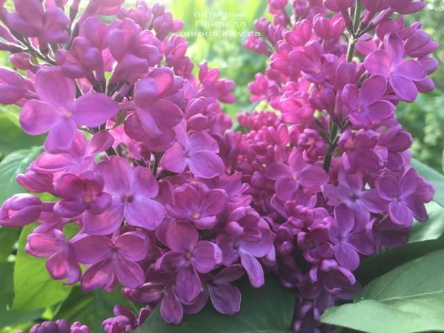 Сирень Полтава (Syringa vulgaris Poltava) ФОТО Питомник растений Природа (Priroda) (3)