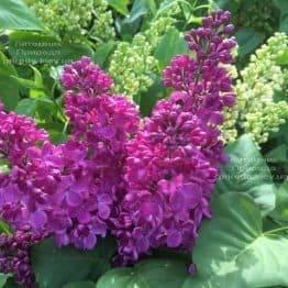 Сирень Полтава (Syringa vulgaris Poltava) ФОТО Питомник растений Природа (Priroda) (4)