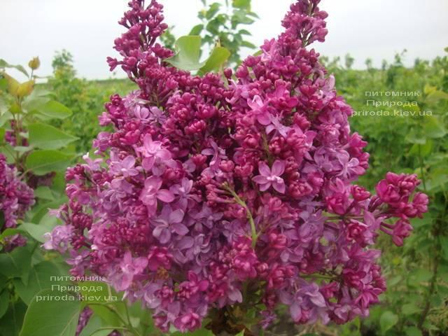 Бузок Президент Лубе (Syringa vulgaris President Loubet) ФОТО Розплідник рослин Природа (Priroda) (2)