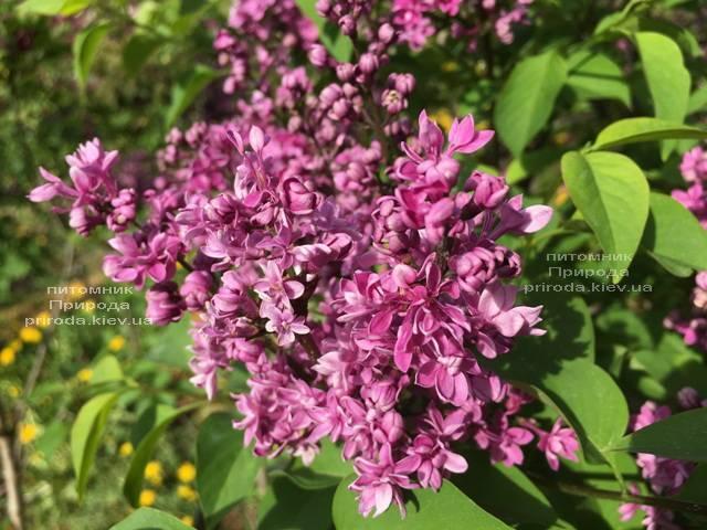 Сирень Президент Лубе (Syringa vulgaris President Loubet) ФОТО Питомник растений Природа (Priroda) (3)