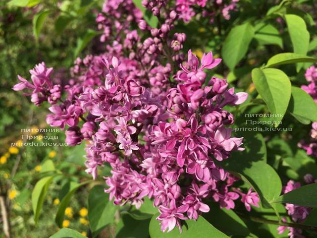 Бузок Президент Лубе (Syringa vulgaris President Loubet) ФОТО Розплідник рослин Природа (Priroda) (3)