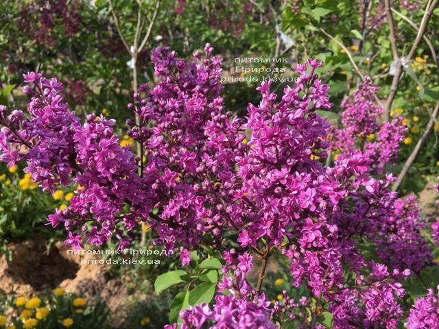 Сирень Президент Лубе (Syringa vulgaris President Loubet) ФОТО Питомник растений Природа (Priroda) (4)