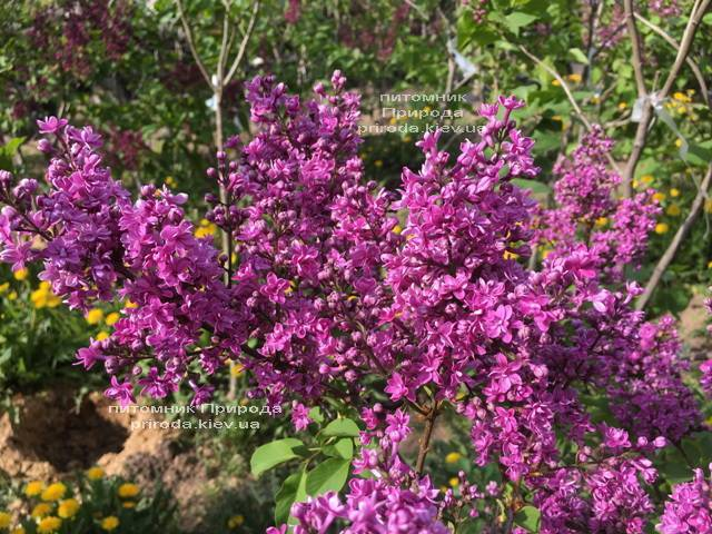 Бузок Президент Лубе (Syringa vulgaris President Loubet) ФОТО Розплідник рослин Природа (Priroda) (4)