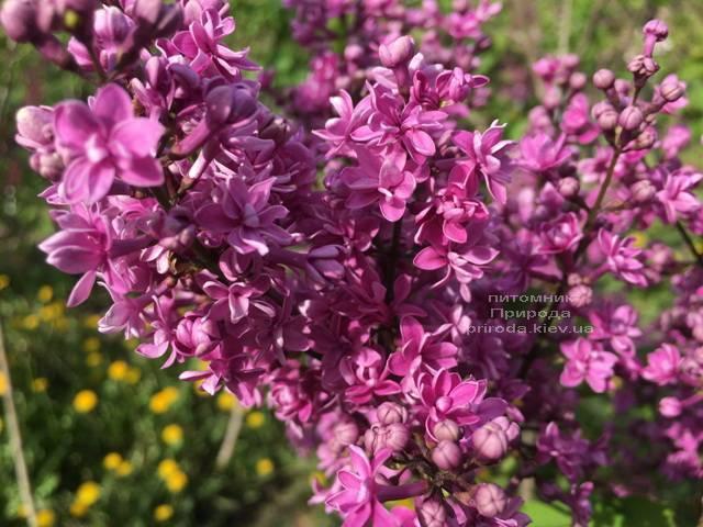 Сирень Президент Лубе (Syringa vulgaris President Loubet) ФОТО Питомник растений Природа (Priroda) (5)