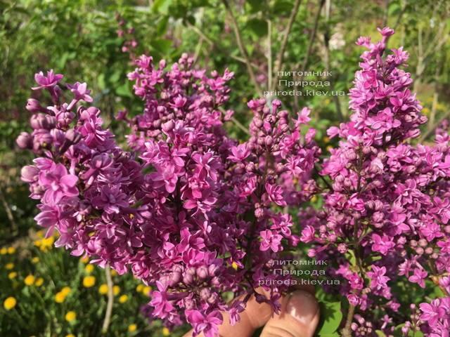 Сирень Президент Лубе (Syringa vulgaris President Loubet) ФОТО Питомник растений Природа (Priroda) (6)