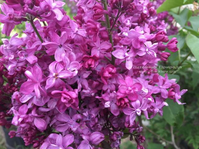 Бузок Президент Лубе (Syringa vulgaris President Loubet) ФОТО Розплідник рослин Природа (Priroda) (7)