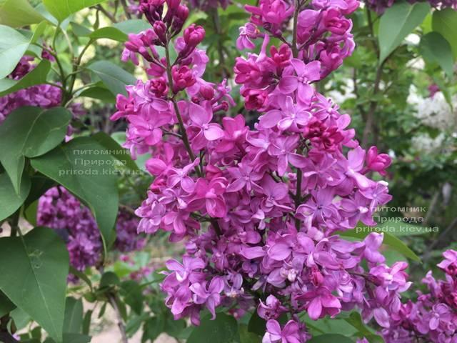 Сирень Президент Лубе (Syringa vulgaris President Loubet) ФОТО Питомник растений Природа (Priroda) (8)