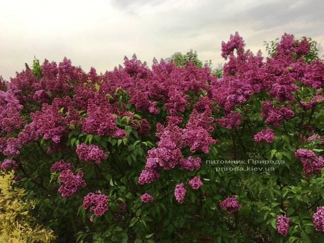 Бузок Реомюр (Syringa vulgaris Reomjur) ФОТО Розплідник рослин Природа (Priroda) (10)