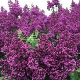 Сирень Реомюр (Syringa vulgaris Reomjur) ФОТО Питомник растений Природа (Priroda) (12)