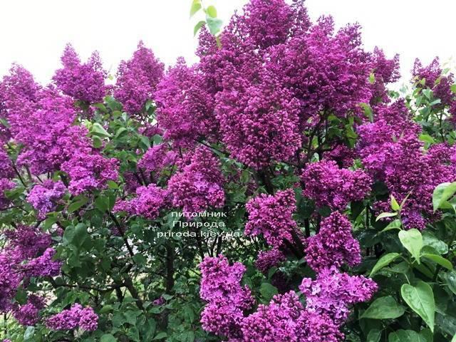 Сирень Реомюр (Syringa vulgaris Reomjur) ФОТО Питомник растений Природа (Priroda) (13)