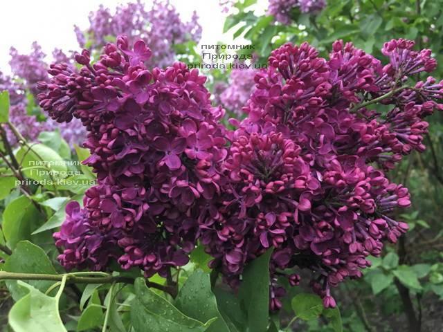 Сирень Реомюр (Syringa vulgaris Reomjur) ФОТО Питомник растений Природа (Priroda) (14)