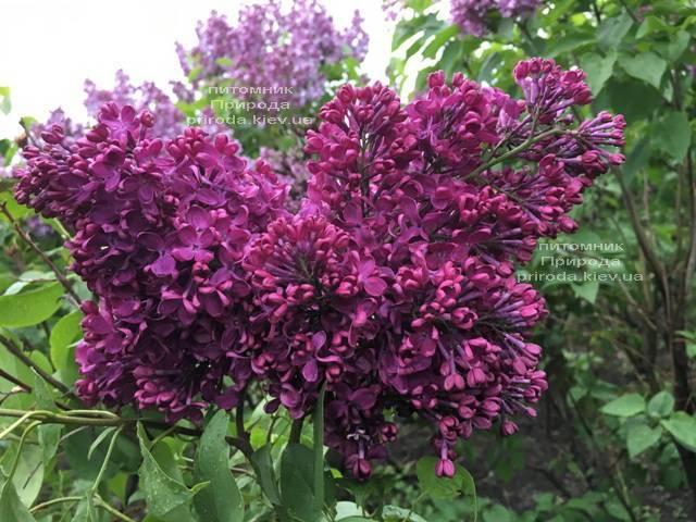 Сирень Реомюр (Syringa vulgaris Reomjur) ФОТО Питомник растений Природа (Priroda) (15)