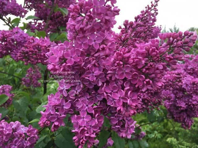 Сирень Реомюр (Syringa vulgaris Reomjur) ФОТО Питомник растений Природа (Priroda) (3)