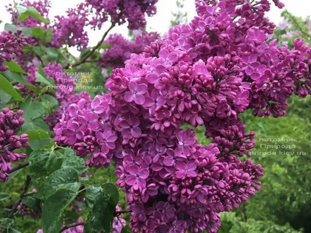 Сирень Реомюр (Syringa vulgaris Reomjur) ФОТО Питомник растений Природа (Priroda) (4)