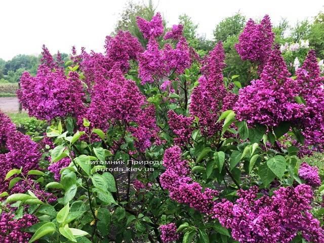 Бузок Реомюр (Syringa vulgaris Reomjur) ФОТО Розплідник рослин Природа (Priroda) (5)