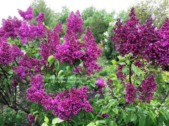 Бузок Реомюр (Syringa vulgaris Reomjur) ФОТО Розплідник рослин Природа (Priroda) (6)