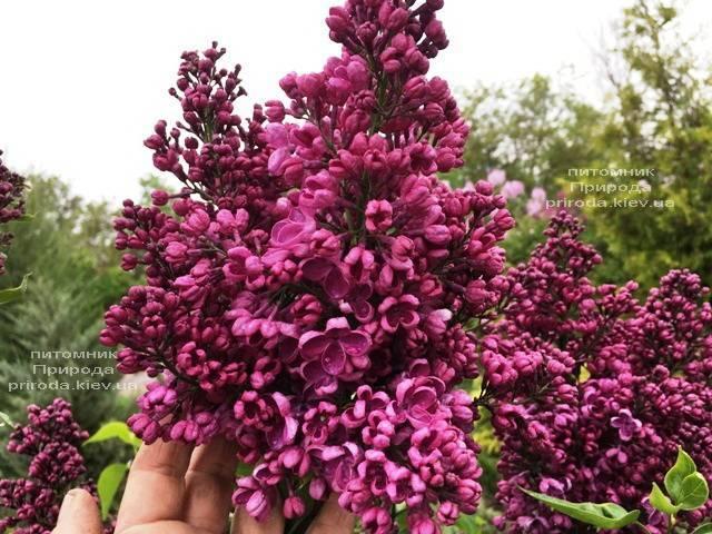 Бузок Реомюр (Syringa vulgaris Reomjur) ФОТО Розплідник рослин Природа (Priroda) (8)