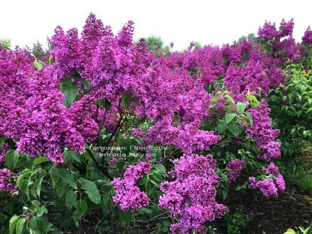 Сирень Реомюр (Syringa vulgaris Reomjur) ФОТО Питомник растений Природа (Priroda) (9)