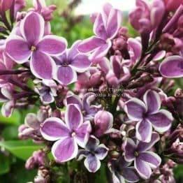 Сирень Сенсация (Syringa vulgaris Sensation) ФОТО Питомник растений Природа (Priroda) (3)