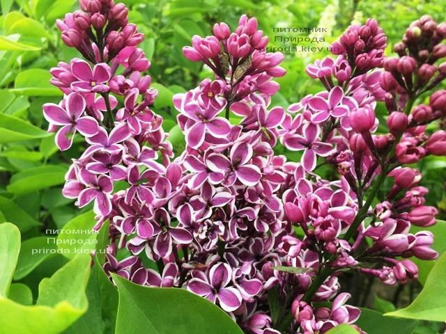Сирень Сенсация (Syringa vulgaris Sensation) ФОТО Питомник растений Природа (Priroda) (4)