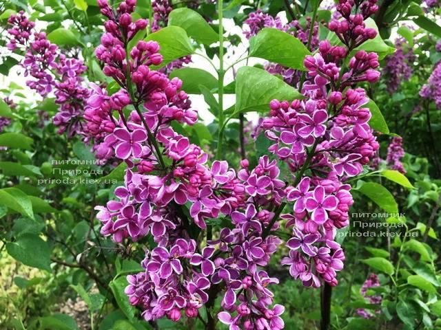Сирень Сенсация (Syringa vulgaris Sensation) ФОТО Питомник растений Природа (Priroda) (6)