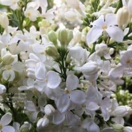 Сирень Весталка (Syringa vulgaris Vestalka) ФОТО Питомник растений Природа (Priroda) (4)