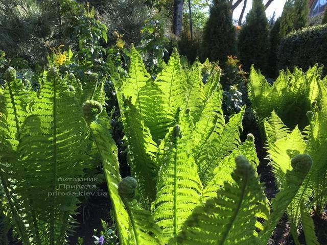 Страусник обыкновенный (Папоротник) (Matteuccia struthiopteris) ФОТО Питомник растений Природа (Priroda) (3)