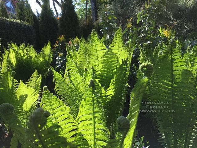 Страусник обыкновенный (Папоротник) (Matteuccia struthiopteris) ФОТО Питомник растений Природа (Priroda) (4)