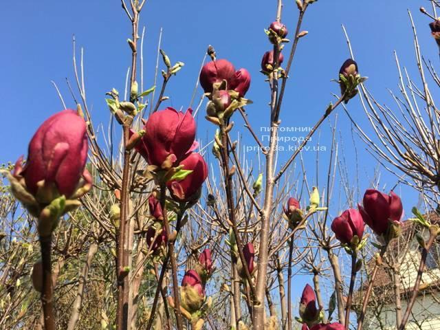 Магнолия Блэк Тюлип (Magnolia Black Tulip) ФОТО Питомник растений Природа (Priroda) (10)