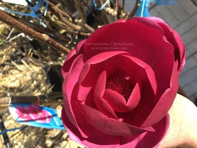 Магнолия Блэк Тюлип (Magnolia Black Tulip) ФОТО Питомник растений Природа (Priroda) (8)