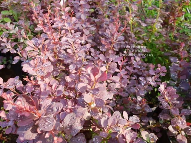 Барбарис Тунберга Атропурпуреа (Berberis thunbergii Atropurpurea) ФОТО Питомник растений Природа (Priroda) (1)